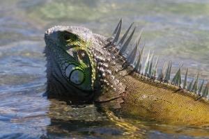 Iguana at Mona Island by Jerry Valentín